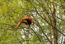 Free Red Panda Stock Photography - 5222552