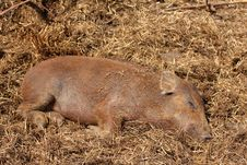 Free Wild Boar Royalty Free Stock Image - 5222816