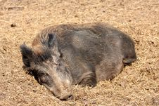 Free Wild Boar Royalty Free Stock Photos - 5222818