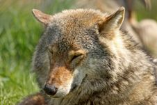 Free European Grey Wolf Stock Photography - 5223032