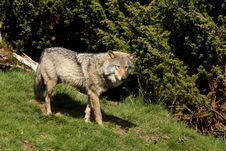 Free EUROPEAN GREY WOLF Stock Photos - 5223183