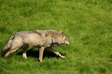 Free EUROPEAN GREY WOLF Royalty Free Stock Image - 5223216