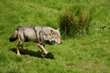 Free EUROPEAN GREY WOLF Royalty Free Stock Photos - 5223228