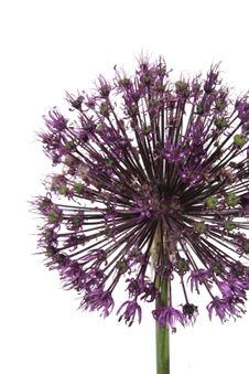Free Allium Stock Photo - 5223240