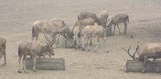 Free Elks Royalty Free Stock Photos - 5223258