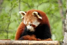 Free Red Panda Royalty Free Stock Photo - 5223285