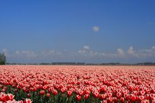Free Tulip Field Royalty Free Stock Image - 5223366