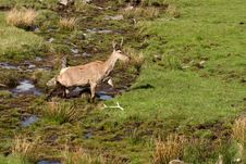 Free Red Deer Royalty Free Stock Photo - 5223735