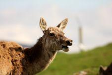 Free Red Deer Stock Photo - 5223940