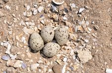 Free Eggs In Nest Royalty Free Stock Photography - 5224067