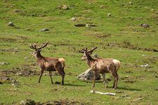 Free Red Deer Royalty Free Stock Image - 5224116