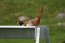 Free Pheasant Royalty Free Stock Image - 5224186