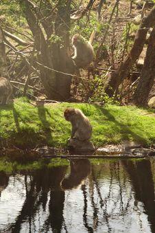 Free Japanese Snow Monkey Stock Image - 5224271
