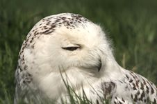 Free SNOWY OWL - Nyctea Scandiaca Royalty Free Stock Photo - 5224505