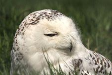 Free SNOWY OWL - Nyctea Scandiaca Royalty Free Stock Photo - 5224505