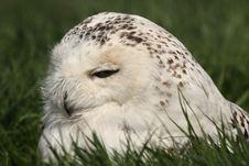 Free SNOWY OWL - Nyctea Scandiaca Royalty Free Stock Image - 5224506