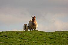 Free PRZEWALSKI S HORSE Stock Images - 5224554