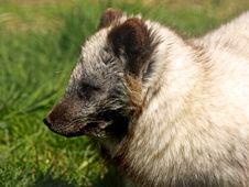 Free ARCTIC FOX - Alopex Lagopus Royalty Free Stock Image - 5224746