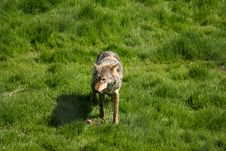 Free EUROPEAN GREY WOLF Royalty Free Stock Photo - 5224885