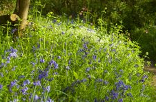 Free English Bluebell Wood Royalty Free Stock Photo - 5225135
