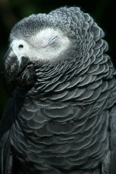 Free Sleepy Grey Parrot Royalty Free Stock Photos - 5225228