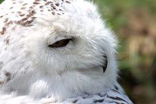 Free SNOWY OWL - Nyctea Scandiaca Stock Image - 5225241