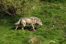 Free EUROPEAN GREY WOLF Royalty Free Stock Photography - 5225277