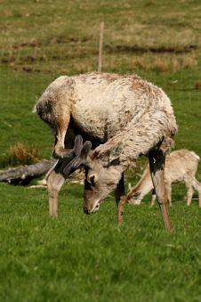 Free Red Deer Stock Image - 5225421