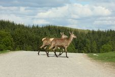 Free Red Deer Royalty Free Stock Photography - 5225547