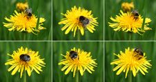 Free Bumblebee On The Dandelion Royalty Free Stock Photography - 5225917