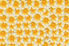 Free White And Yellow Daisy Stock Photo - 5226020