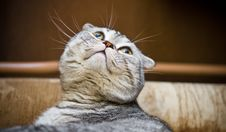 Free Scottish Fold Cat Looking Up Royalty Free Stock Image - 5226026