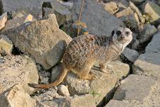 Free Meerkat (mammal) Stock Photography - 5226432