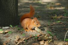 Free Red Squirrel Royalty Free Stock Images - 5226989