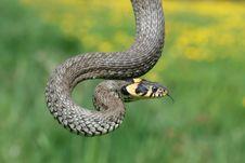 Free Grass-snake Stock Photo - 5227130