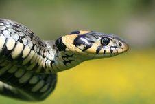Snake Portrait Stock Images
