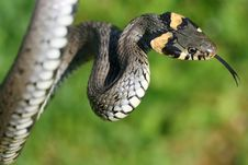 Free Long Snake Stock Photography - 5227162