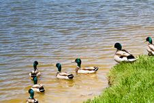 Free Mallard Ducks Royalty Free Stock Photos - 5227268