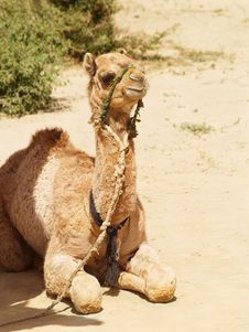 Free Sitting Camel Stock Photo - 5227440