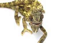 Free Smiling Chameleon. Royalty Free Stock Photography - 5227477