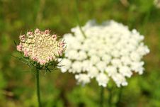 Free Queen Anne S Lace Flower Stock Photos - 5227803