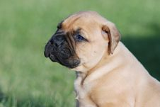 Free Young Bullmastiff Royalty Free Stock Photography - 5227837