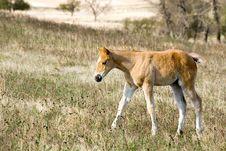 Quarter Horse Foal In Pasture Stock Photos