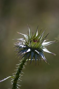 Thorn Flower Thistle Close Up.. Stock Photo