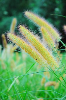Free Green Bristle Grass Royalty Free Stock Image - 5228266
