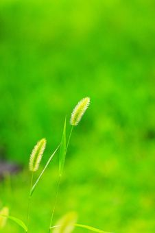 Free Green Bristle Grass Stock Images - 5228474