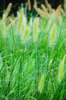 Free Green Bristle Grass Stock Photos - 5228583