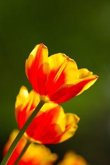 Free An Beautiful Orange Tulips Stock Photos - 5228633
