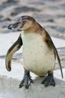 Free Peruvian Penguin Stock Photography - 5228982