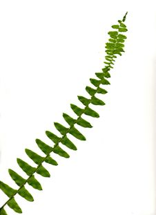 Free Boston Fern Leaf Stock Images - 5229004